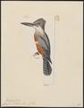 Ceryle stellata - 1820-1863 - Print - Iconographia Zoologica - Special Collections University of Amsterdam - UBA01 IZ16800267.tif
