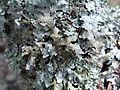 Cetrelia olivetorum T82 (1).JPG