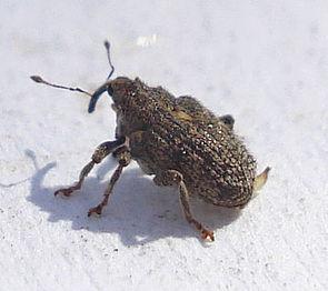 Ceutorhynchus pallidactylus.jpg