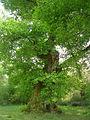 Chêne de Cantaure.jpg