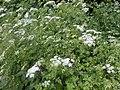 Chaerophyllum temulum plant (03).jpg