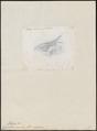 Chaetura coracina - 1857-1858 - Print - Iconographia Zoologica - Special Collections University of Amsterdam - UBA01 IZ16700121.tif