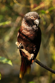 Chalcopsitta atra -perching on branch-8a.jpg