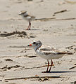 Charadrius melodus -Cape May, New Jersey, USA -parent and chick-8 (2).jpg