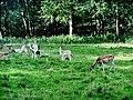 Charlecote Park Deer Sunctuary - panoramio (6).jpg