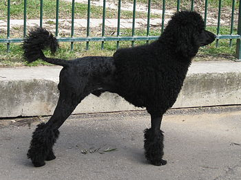English: Standard black poodle haircut