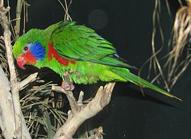 Charmosyna placentis (male) Cincinnati Zoo-8a.jpg