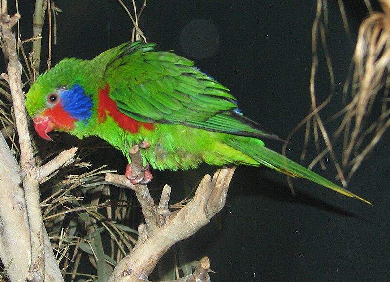Ficheiro:Charmosyna placentis (male) Cincinnati Zoo-8a.jpg