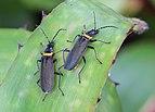 Chauliognathus lugubris, Plague Soldier Beetle, Sydney, Australia.JPG