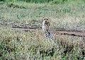Cheetah Checking Us Out (48538487551).jpg