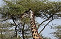 Cheetah in the Ngorongoro Conservation Area (11) (28365845240).jpg