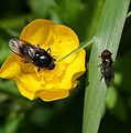 Cheilosia ^ Melanogaster comparison - Flickr - S. Rae.jpg