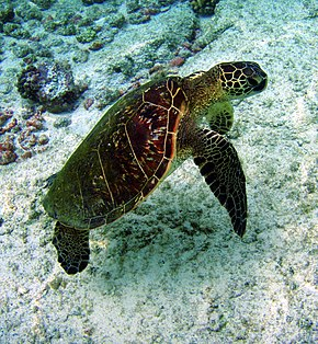 Гавайська зелена морська черепаха