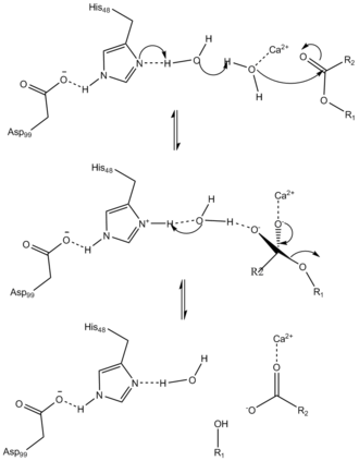 Phospholipase A2 - Mechanism of hydrolysis catalyzed by PLA2