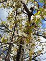 Cherry Blossom in Mostar.jpg