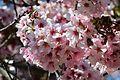 Cherry blossoms Lake Balboa (20140330-0320).JPG
