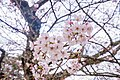 Cherry blossoms at Matsuyama Castle, Ehime Prefecture; April 2017 (08).jpg