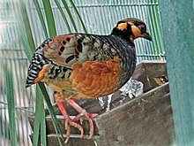 Chestnut-bellied Partridge RWD5.jpg