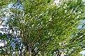 Chiminango (Pithecellobium dulce) (14700048321).jpg