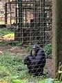 Chimp, Limbe.jpg