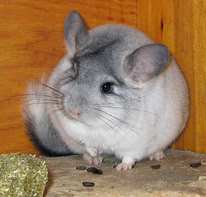 Chinchilla - Silver mosaic chinchilla