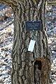 Chionanthus retusus - Tyler Arboretum.jpg