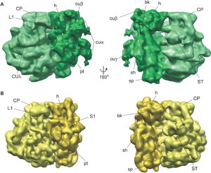 Rybosomy chloroplastowe Porównanie rybosomu chloroplastowego (zielony) i rybosomu bakteryjnego (żółty).  Oznaczono ważne cechy wspólne dla rybosomów i cechy charakterystyczne dla chloroplastów.