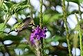 Chlorostilbon melanorhynchus (Esmeralda occidental) - Hembra - Flickr - Alejandro Bayer (1).jpg
