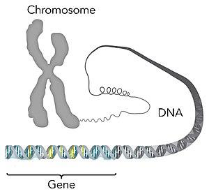 Chromosome DNA