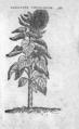 Chrysanth. perunianum 307 Dodoens Florum 1569.png