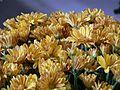 Chrysanthemums (1462400880).jpg
