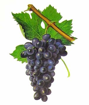 Carignan - Despite sharing several synonyms, such as Samsó in Catalonia, Carignan and Cinsault (pictured) have no known relations.