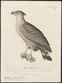 Circaëtus coronatus - 1700-1880 - Print - Iconographia Zoologica - Special Collections University of Amsterdam - UBA01 IZ18100261.tif