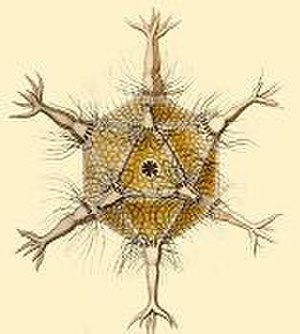Regular polyhedron - Circogonia icosahedra, a species of Radiolaria.