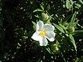 Cistus monspeliensis (Puntagorda) 01.jpg