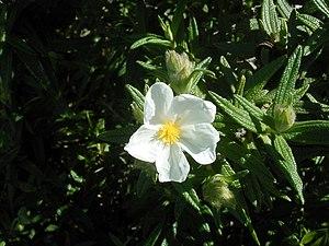 Image of Cistus monspeliensis: http://dbpedia.org/resource/Cistus_monspeliensis