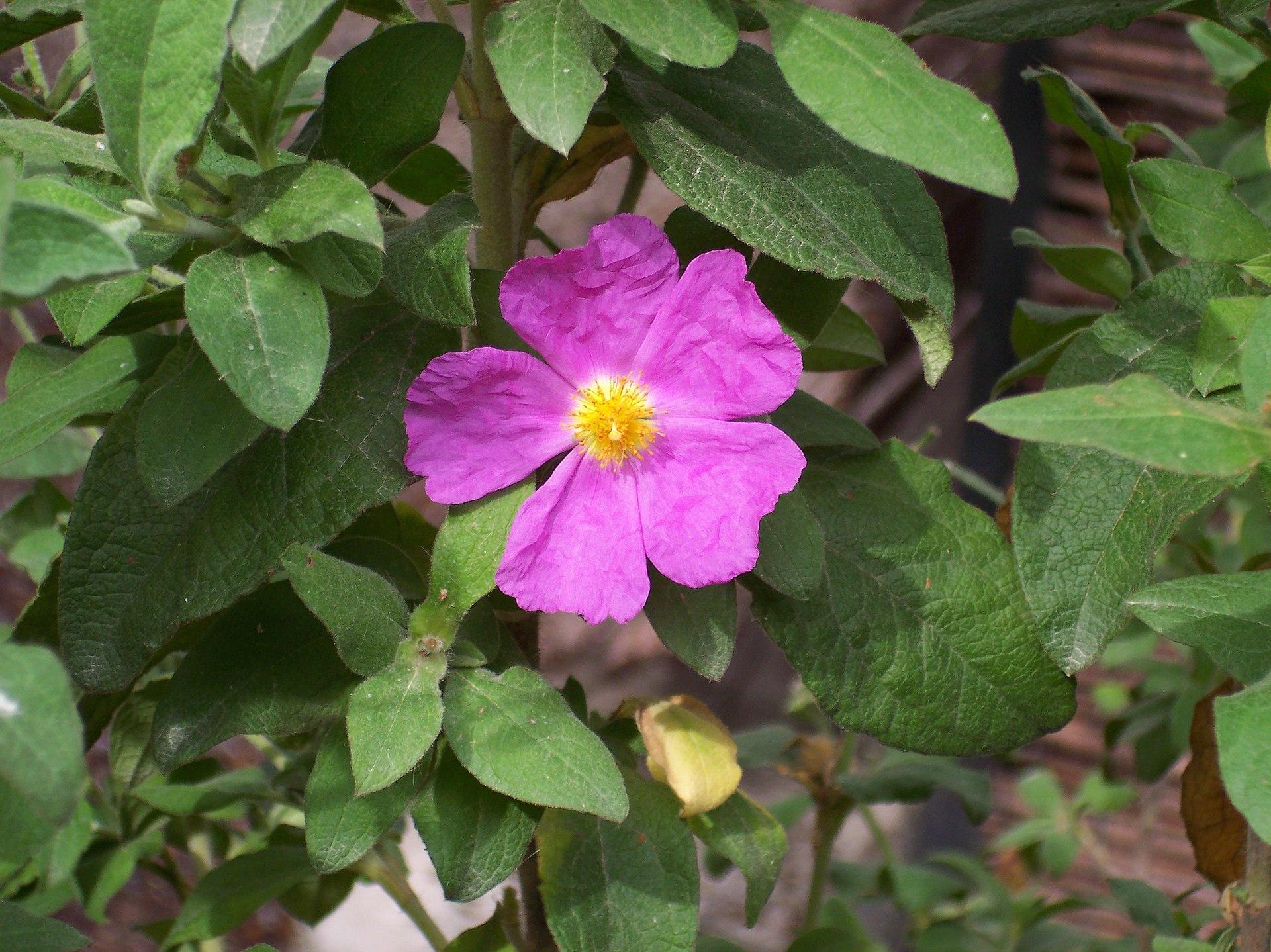 Bramwell Z  Wild Flowers Of The Canary Islands