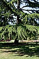 City of London Cemetery Memorial Gardens cedar tree 1.jpg