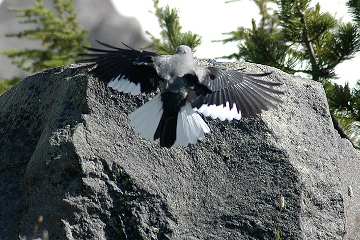 Clark's Nutcracker with wings out, landing on a rock