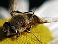 Clean Bee (2611119198).jpg