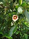 Clusia lanceolata
