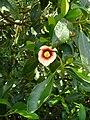Clusia lanceolata.jpg