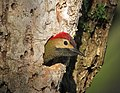 Colaptes rubiginosus Carpintero cariblanco Golden-olive Woodpecker (female) (32538157491).jpg