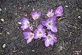 Colchicum sp. (SG) (21941567738).jpg