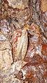 Coleophora sp (43912309561).jpg
