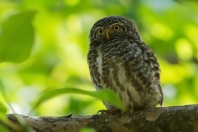 [Image: 640px-Collared_Owlet_-_Bajoon%2C_Uttarak...586%29.jpg]