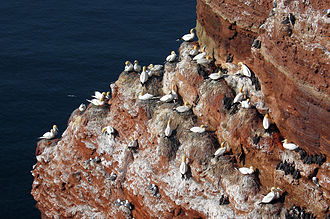 Colony (biology) - A breeding colony of Northern gannets on the Heligoland archipelago in the North Sea.