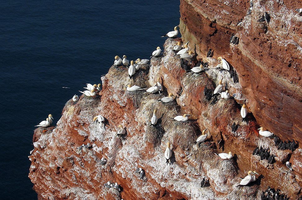Colony Northern Gannet Morus bassanus
