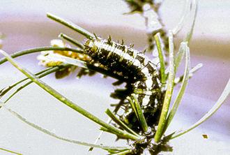 Pandora moth - Image: Coloradia pandora larva