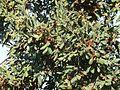Combretum molle, loof en vrugte, Bronberg, a.jpg